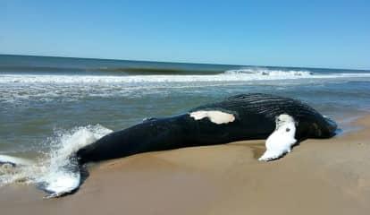 Massive Dead Whale Found On Long Island Shore