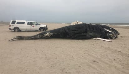 VIDEO: Necropsy Of Massive Dead Whale Under Way On Jersey Shore Beach