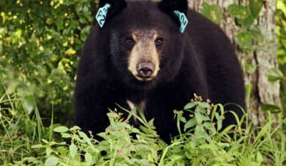 Bear Shot, Killed After Fatal Attack On Dog, CT State Police Say