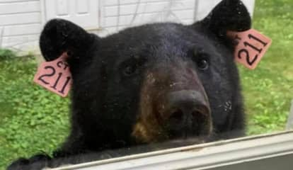 Beloved 'Bear 211' Struck, Killed By Vehicle In Connecticut