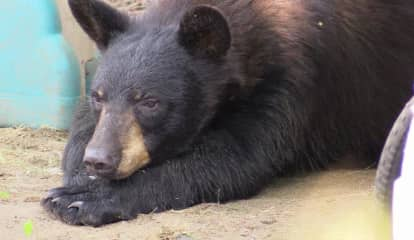 New Black Bear Sighting Reported In Westchester