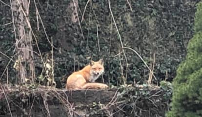 Mystery Surrounds Sighting: Is It A Fox Or Coyote Roaming Around Westchester Backyards?