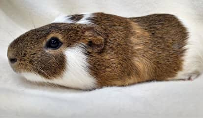 Classroom Guinea Pig Injured By Cat Needs Home, Bergen County Shelter Says