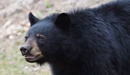 Bear Sighting Reports On Rise In Connecticut
