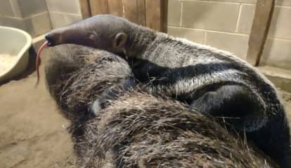 Baby Giant Anteater Born At Connecticut's Beardsley Zoo