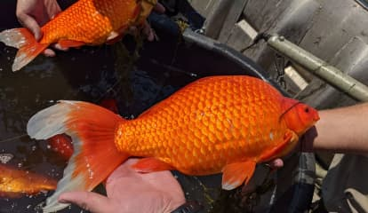 Tiny Goldfish Dumped In Lakes Are Growing To Football Size As Officials Issue Warning