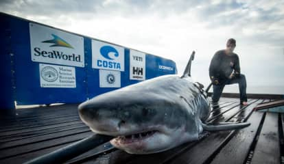 Famed 10-Foot Great White Shark Tracked Off Atlantic City Coast