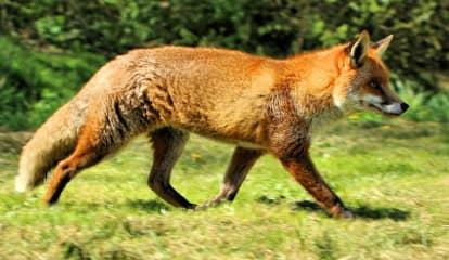 Fox That Bit 3 In Glen Ridge Had Rabies, Officials Say