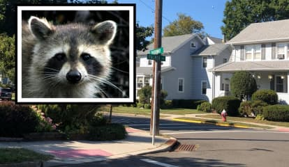 RACCOON RAMPAGE: Animal Attacks Maywood Residents