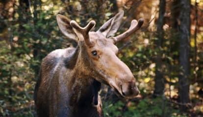 Moose On Loose At UConn Campus Signals Beginning Of Birthing Season