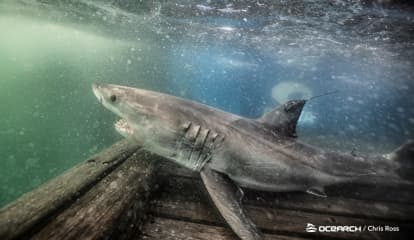 Two Great White Sharks Being Tracked Off Atlantic Coast