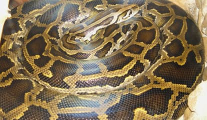 8-Foot Snake Found Outside Long Island Home