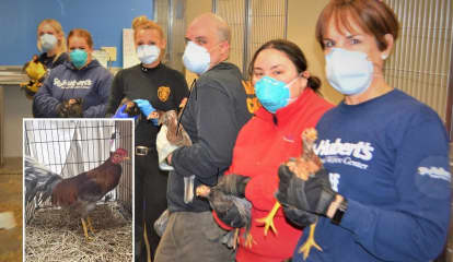 'Pretty Bird': Roosters Rescued From Paterson Cockfighting Ring Get TLC At St. Hubert's