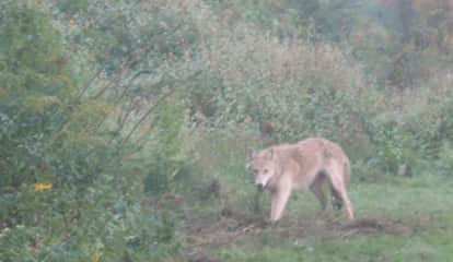 Police Issue Alert After Coyote Sighting In Westchester