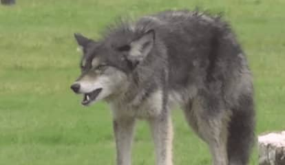 Coyote Warnings Issued As Weather Warms Up, Sightings Start Up Again