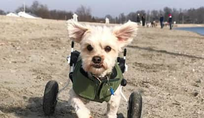 Fairfield Dog On Wheels Captures Hearts Across The World