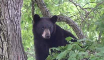 Seen One? List Of Black Bear Sightings In Fairfield County, State Released