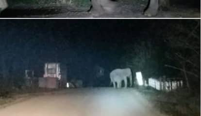 Stray Elephant Strolls Off Sanctuary, Onto Road In Area