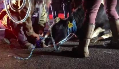 No Bull: Slaughterhouse-Bound Cow Takes Leap Of Faith Onto Route 80