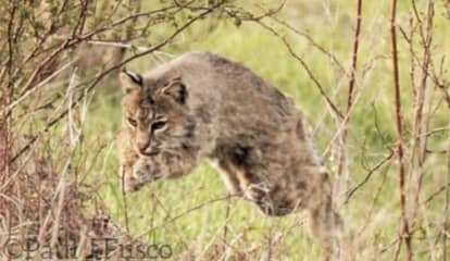Bobcat Euthanized After Attacking Man At CT Golf Course