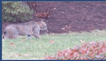 12-Year-Old Attacked By Bobcat In Backyard Of Fairfield Home, Police Say