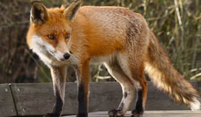 Hunterdon County Fox Tests Positive For Rabies