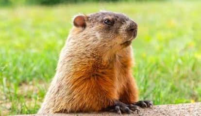 Groundhog Predicts Early Spring, But Here's When Snow Is Likely This Week
