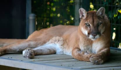 Animal Believed To Be Mountain Lion Chased By Dogs In Northern Westchester, Resident Reports