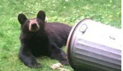 Brand-New Sighting: See Photo Of Bear Talking Trash In Hudson Valley