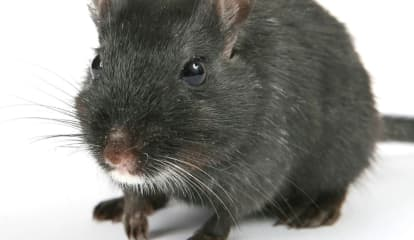 COVID-19: Alert Issued For Increased Reports Of Rodent Activity In Rockland