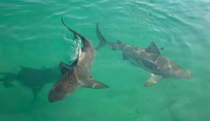 Deadly Bull Sharks Sighted In Jersey Shore River