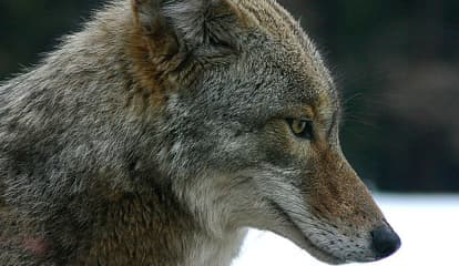 Police In Westchester Village Issue Coyote Advisory After Sightings
