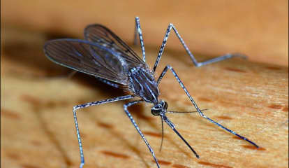 Mosquitoes With West Nile Virus Found In Westchester