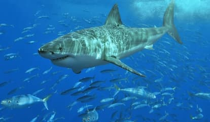 Great White Sharks Heading North As Waters Are Getting Warmer