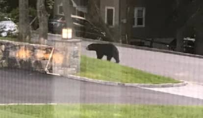 Photos: New Sighting Of Black Bear Making Rounds In Westchester
