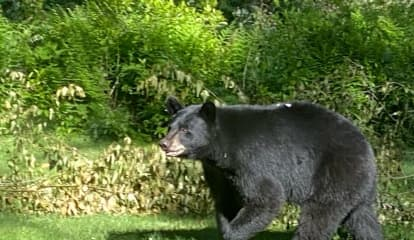 That's A Big Bear: Check Photos Of Sighting Near Fairfield County Border