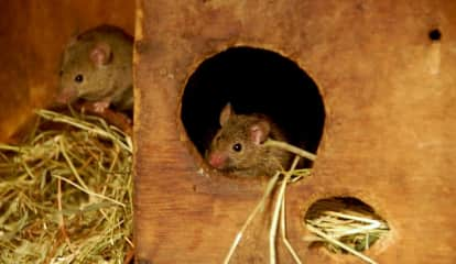 Man Who Died On Bus In China Tests Positive For Rodent-Spread Hantavirus
