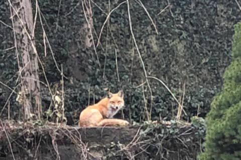 Vote Now: Is It A Fox Or Coyote Roaming Around Westchester Backyards?