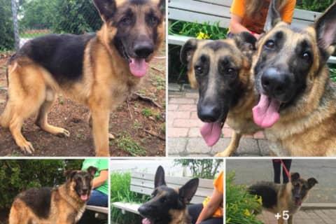 ADOPT: Abused Franklin Lakes German Shepherds Need Homes