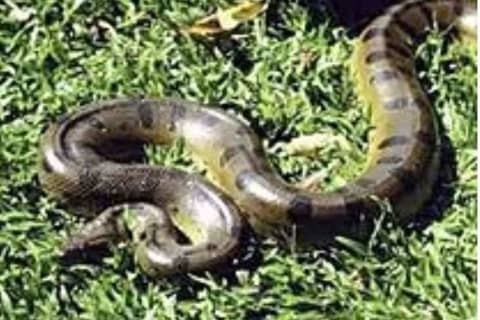 9-Foot Anaconda Snake On Loose After Escaping From Long Island Breeder