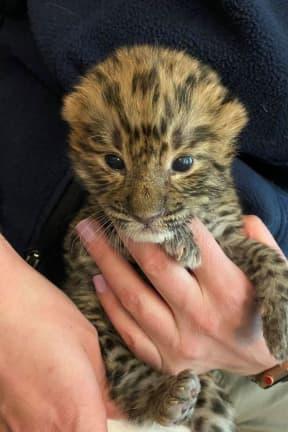 Turtle Back Zoo Welcomes Endangered Leopard Cub Nadya