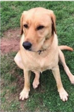 Missing Yellow Lab Last Seen In Westchester Shopping Center