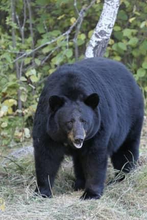 Separate Bear Sightings Reported In Hudson Valley Hamlet
