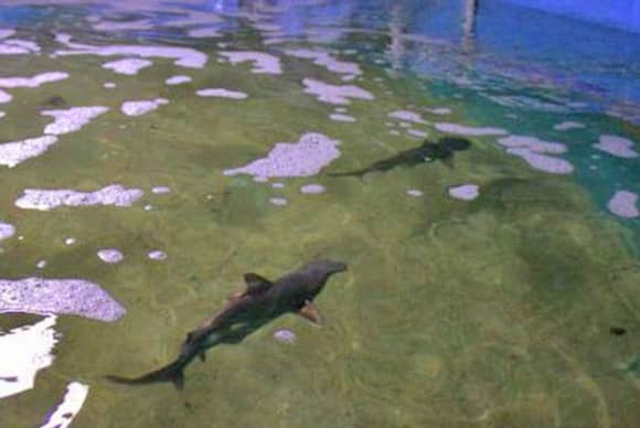 Dutchess County man charged with  illegally selling endangered sharks kept in home pool