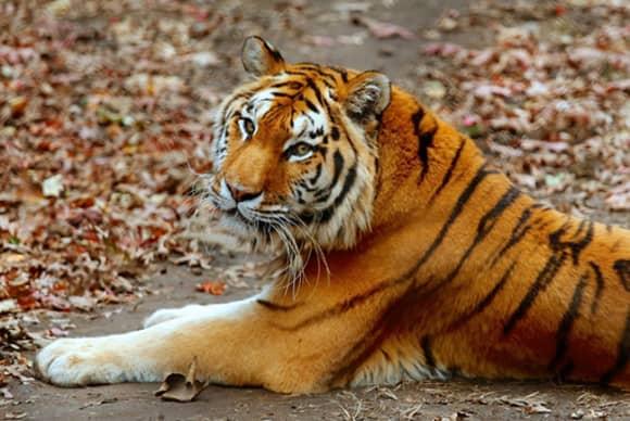 Bridgeport pledges $2.5M for tiger habitat at Beardsley Zoo