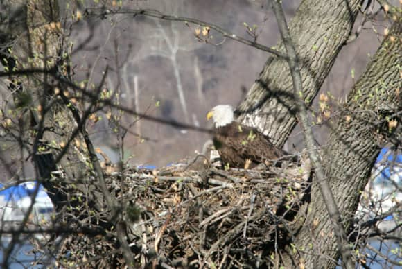 Family matters: Eagles on the Hudson