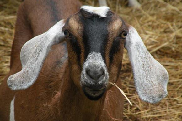 Rhinebeck goats to take a bite of the Big Apple