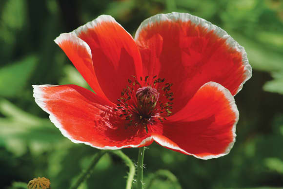 Poppies, for remembrance
