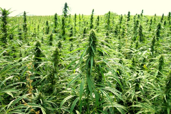 Pilot hemp-growing bill approved by House; Lamont expected to sign into law