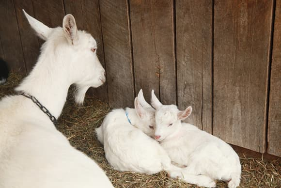 Farm has Big Picture on goats